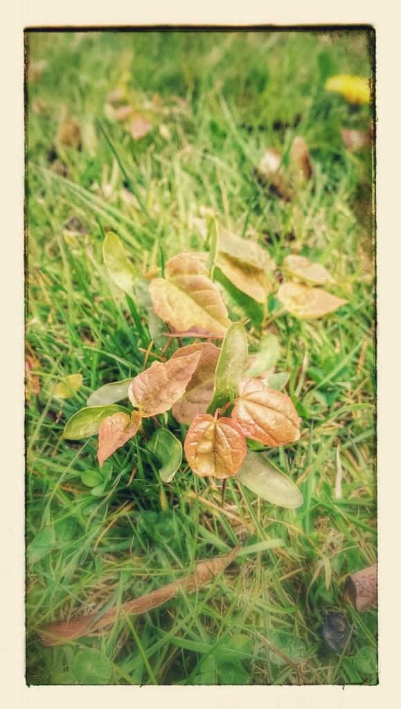 Sycamore Seedlings.